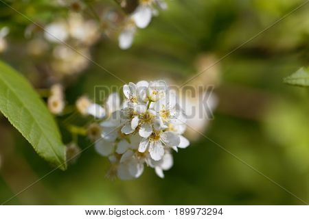 Flower of a black cherry (Prunus serotina)
