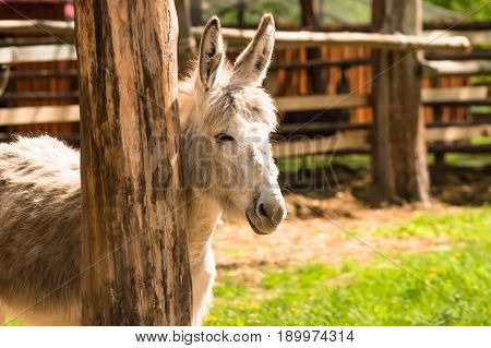 Young Mule Is Basking In The Sun Near A Wooden Pillar.