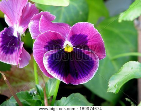 PURPLE, MAUVE AND YELLOW FLOWERS WITH GREEN LEAFED BACK GROUND 22aety