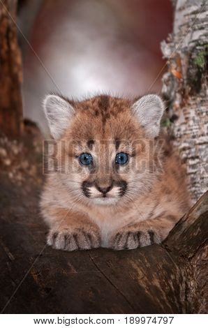 Female Cougar Kitten (Puma concolor) Stares Out From Tree - captive animal