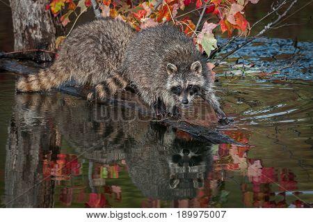 Raccoon (Procyon lotor) Steps Forward on Log - captive animals