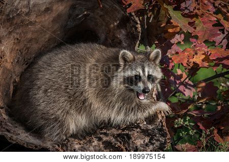 Raccoon (Procyon lotor) Open Mouth in Log - captive animal
