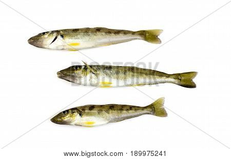 Trumpeter winter whiting (Sillago maculata) has a silvery grey back with dark blotches on the sides