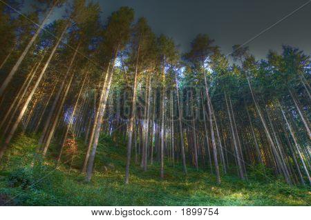 Coniferous Wood With Fog