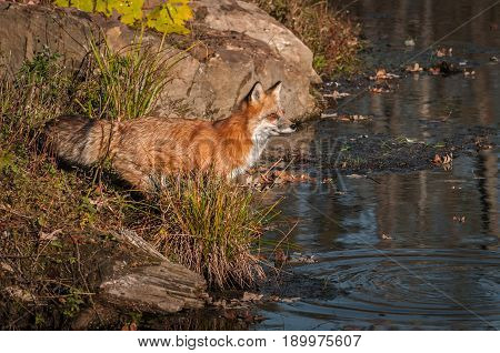 Red Fox (Vulpes vulpes) Stares Out Eagerly - captive animal