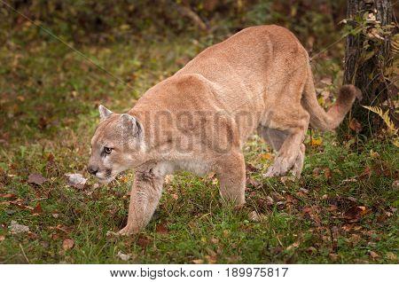 Adult Male Cougar (Puma concolor) Prowls Left - captive animal
