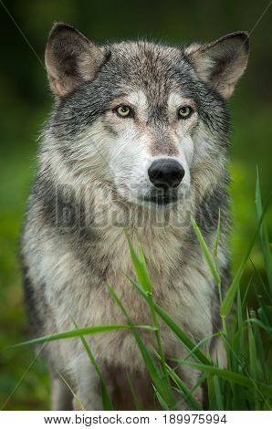 Grey Wolf (Canis lupus) Stands Behind Grass - captive animal