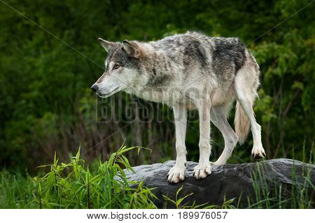 Grey Wolf (Canis lupus) Preps to Jump Off Rock - captive animal