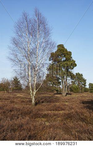 Trees Into Heathland In Spring