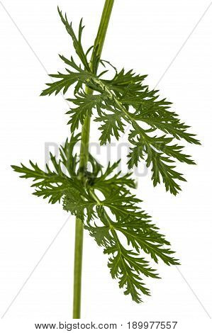 Leaf And Stem Of The Pyrethrum Flower, Isolated On White Background