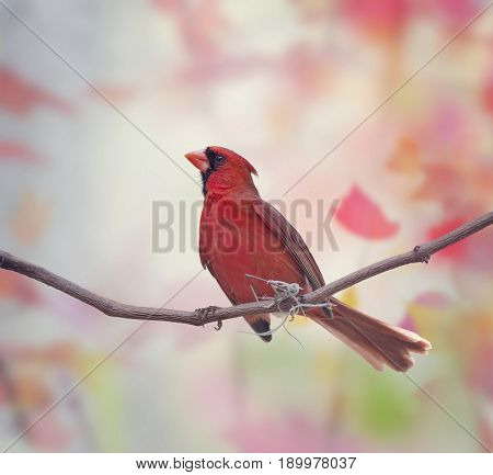 Male Northern Cardinal (Cardinalis cardinalis) perched on branch