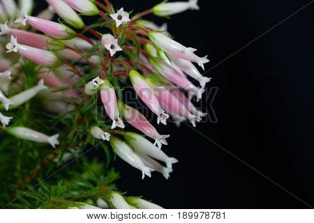 Flowers of the Wax heath (Erica ventricosa)