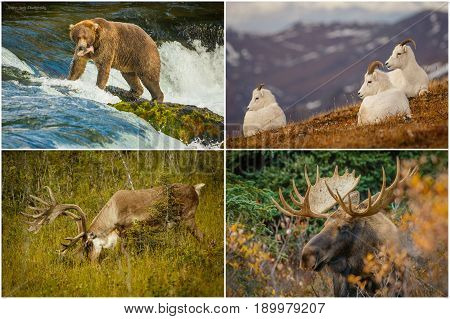 Nature photography of wildlife from Denali National park Alaska, the US - Bear, Dall sheep, Caribou, Moose