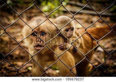 The critically endangered Ecuadorian Capuchin monkey in captivity in Rescue centre, Ecuador