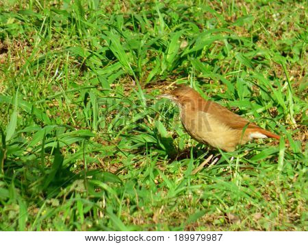 Brown bird among the grass looking for food. Hornero bird among the lawn looking for materials for its mud nest (or house). Bird commonly located in urban areas. Sedentary bird