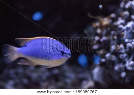 Fiji Blue Devil Damselfish Chrysiptera Parasema