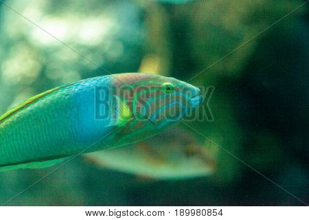 Moon Wrasse Fish Thalassoma Lunare