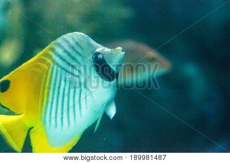 Threadfin Butterflyfish, Chaetodon Auriga