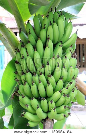 Banana Tree With A Bunch Growing In  Organic Farm,  In The North Of Thailand. The One Of The Famous