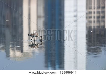 Lessor Flamingos in water with Reflection of Buildings