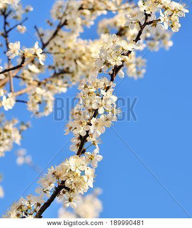 beautiful cherry tree on blue sky. Spring.