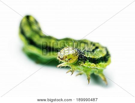 Green larva probably (Autographa gamma) isolated on white background macro photography