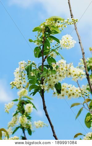 Spring greeting card blossom bird cherry. Close-up of a turtle branch brightly lit against the sky.