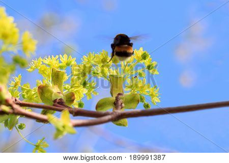 Bumble bee flying to a green branch of a ash-leaved maple. Beautiful in nature.