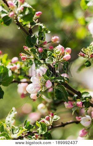 Branches of a blossoming apple tree in spring closeup