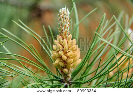 pine tree buds, cone natural pine wod