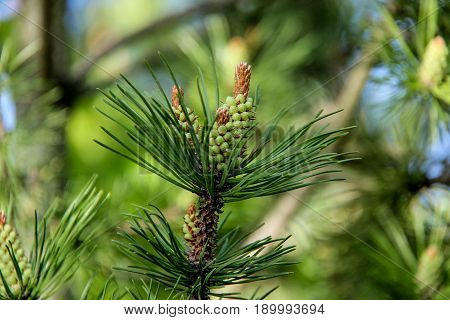 pine tree buds, cone. The view of pine branch with young green cones in summer sun Mountain pine