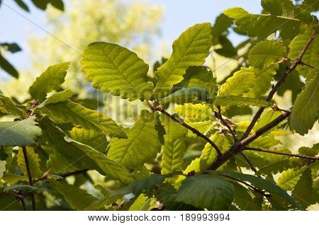 Leaves and branches of Algerian Oak Quercus canariensis. It is native to southern Portugal Spain Tunisia Morocco and