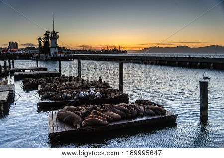 Seals resting at Fisherman's Wharf, near the famous Pier 39, in San Francisco, just after Sunset.