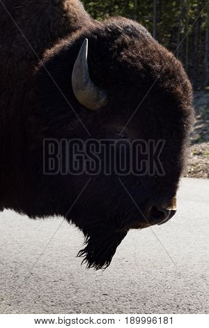 Close up of a profile of a buffalo with its thick brown fur. Photographed in Yellowstone National Park.