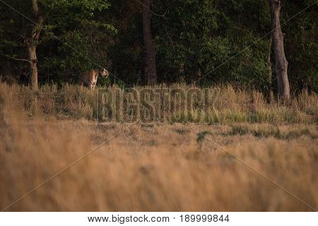 Bengal Tiger Looks Over Meadow From Treeline