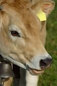 A close-up portrait of a Jersey heifer. Small amount of space for text on the yellow ear tag. poster