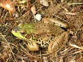 Frog/toad sitting on the ground near the pond (pond not visible) poster
