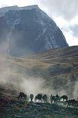 Horses of a trekker group, Ladakh, India. poster