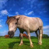 Beautiful wild young horse on the summer field. poster