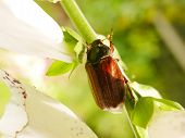 Summer Chafer beetle (Amphimallon solstitialis) on a foxglove stem poster