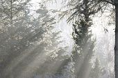sunray trough forest in a beautiful winter season poster