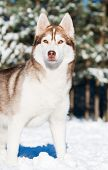 Portrait of adorable young siberian female husky at snowy winter outdoors poster