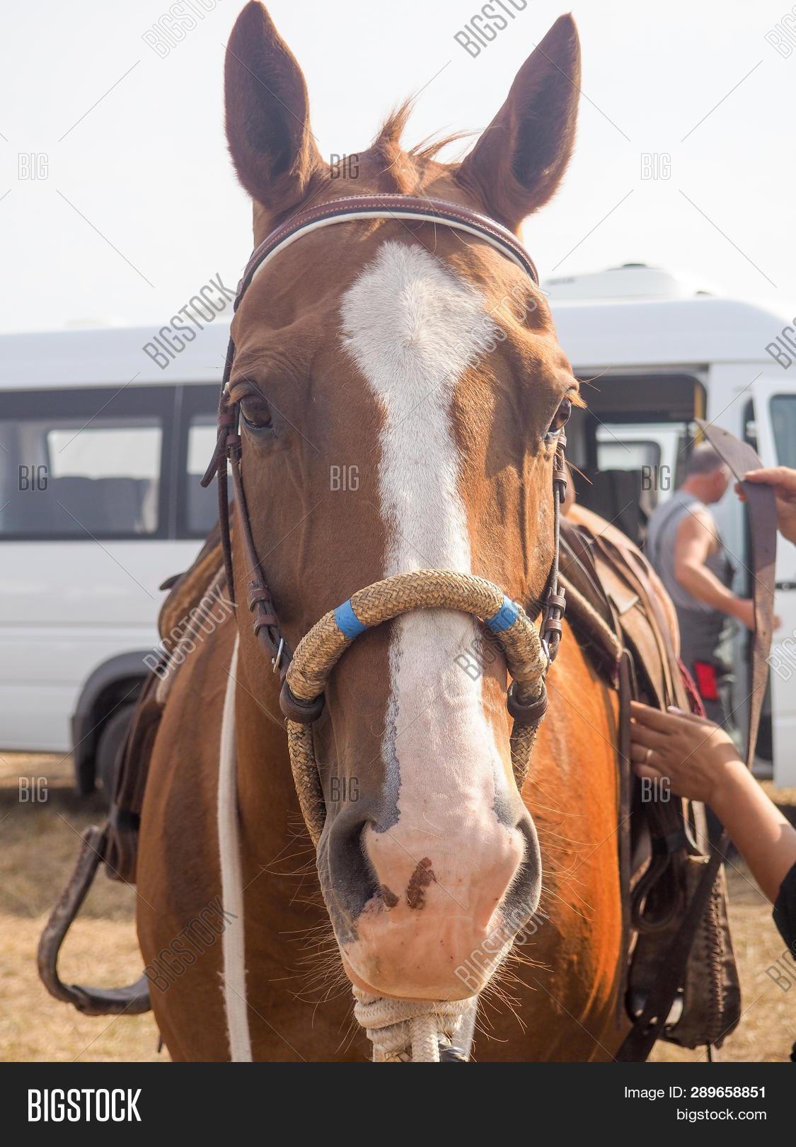 Brown Horse Head Reins Image Photo Free Trial Bigstock