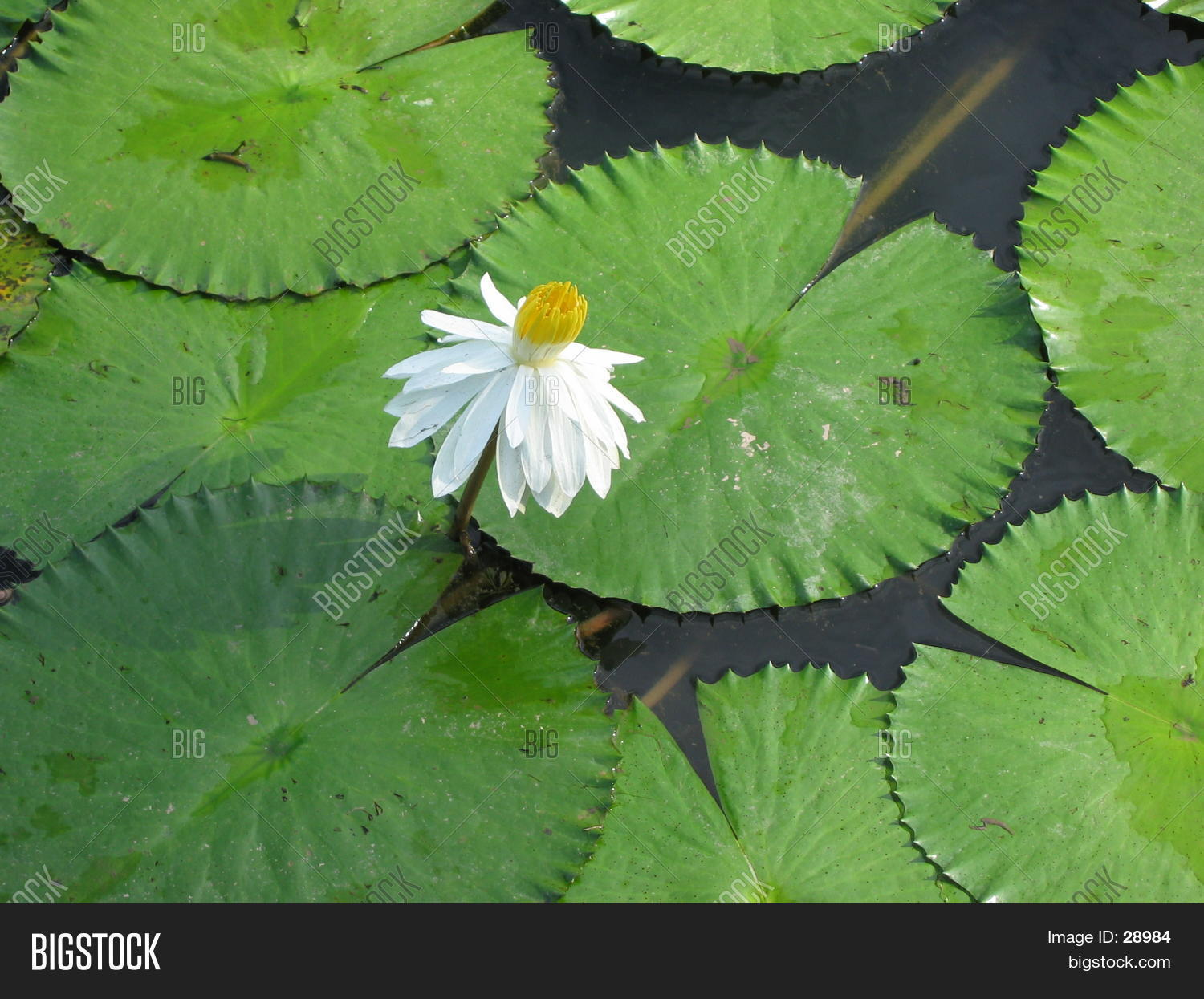 White Sacred Lotus Image Photo Free Trial Bigstock