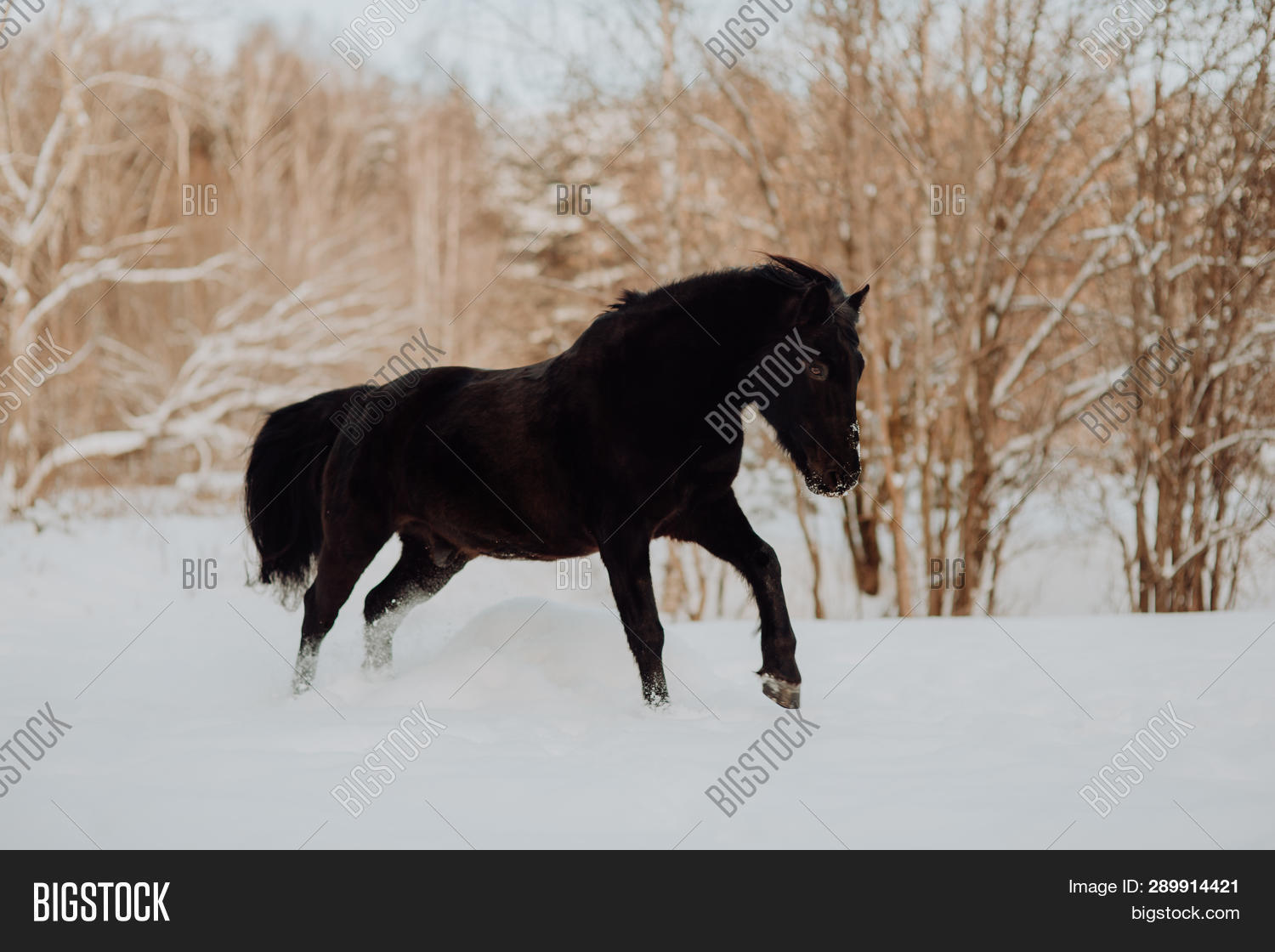 Black Horse Runs Image Photo Free Trial Bigstock