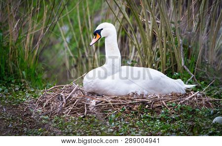 A Mute Swan (cygnus Olor) Sits On Its Nest On A River Bank In Shrewsbury, Shropshire, England.