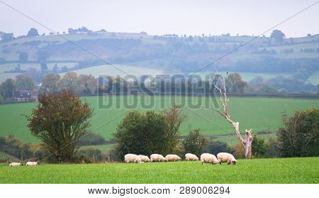 An Idyllic Scene Of Sheep Grazing In A Grassy Field On A Grey Hazy Day In Rural Shropshire, England.