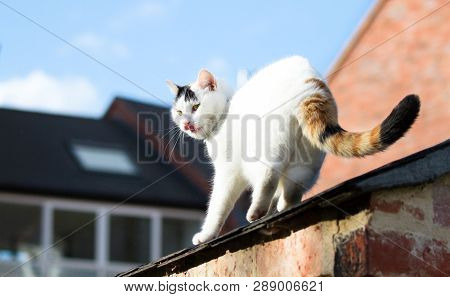 A Large White House Cat Walks Along A Roof In Shrewsbury, Shropshire, England.