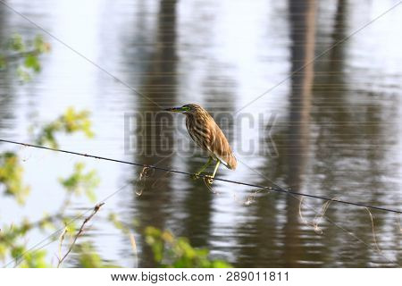 Green Heron on a rope by lake