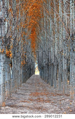 Alley through tall autumn trees